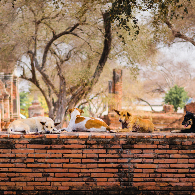 """""""Stray dogs crouch on a precinct wall around Wat Phra Ram temple in Ayutthaya,..."""" stock image"""