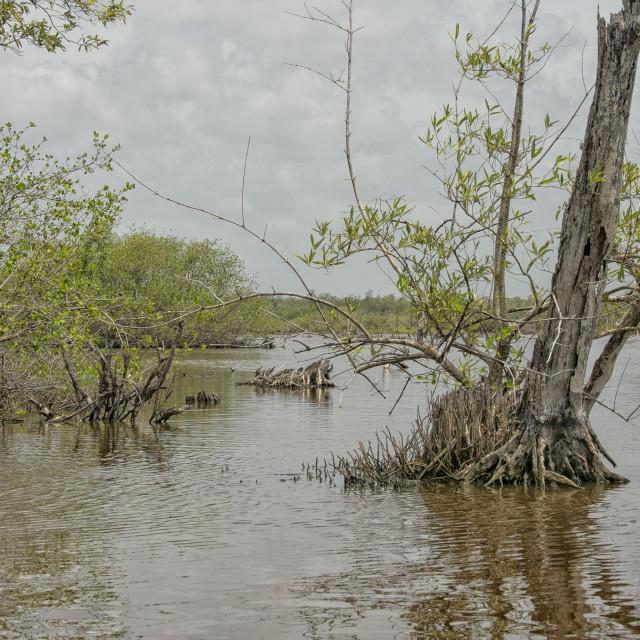 """Mangrove"" stock image"