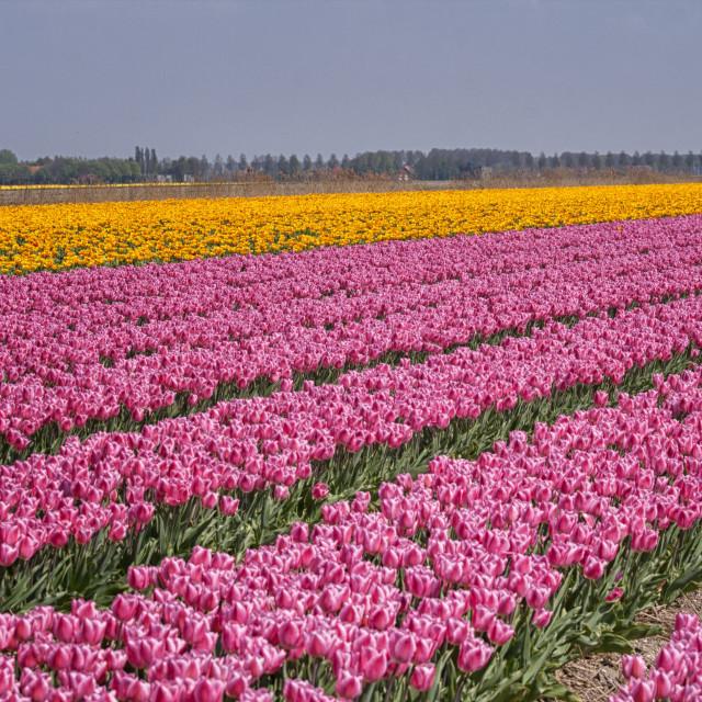"""Tulip fields"" stock image"