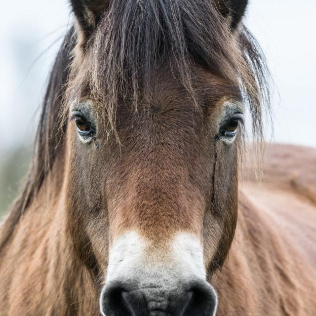 """""""Exmoor Pony Portrait"""" stock image"""