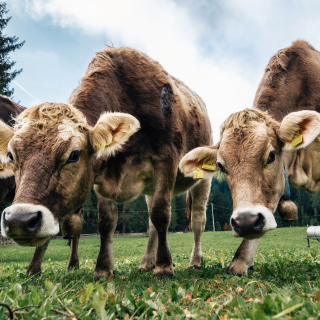 """""""Brown cows grazing in an alpine meadow"""" stock image"""