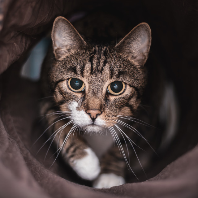 """""""Domestic cat in the cat tunnel"""" stock image"""