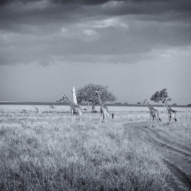 """""""Giraffes on the Serengeti"""" stock image"""