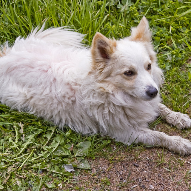"""""""Lying white spitz on green meadow"""" stock image"""