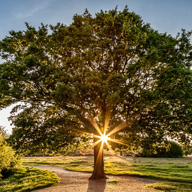 """Oak Tree Sunflare"" stock image"