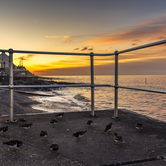 """Turnstones at Sunset"" stock image"