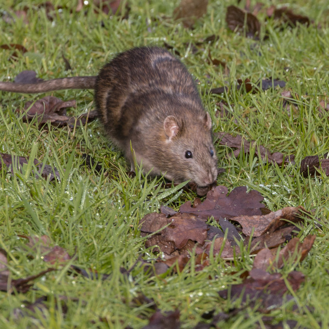 """A Brown Rat"" stock image"