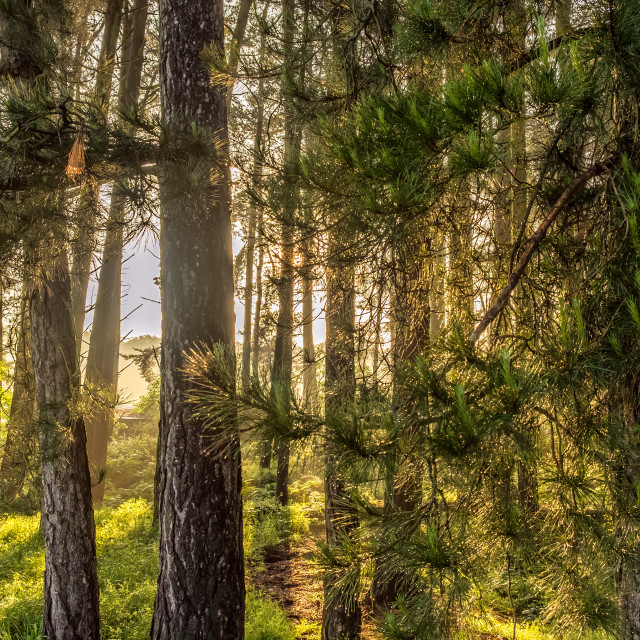 """Pine Woods"" stock image"