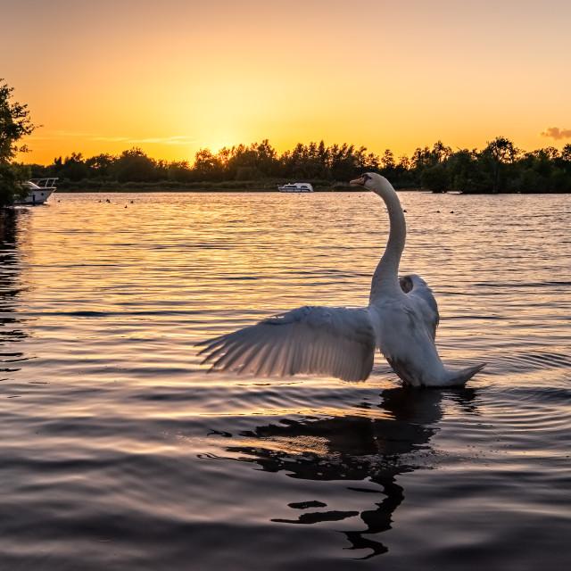 """""""Rising Swan"""" stock image"""