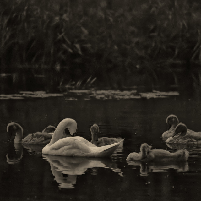 """family of Swans"" stock image"