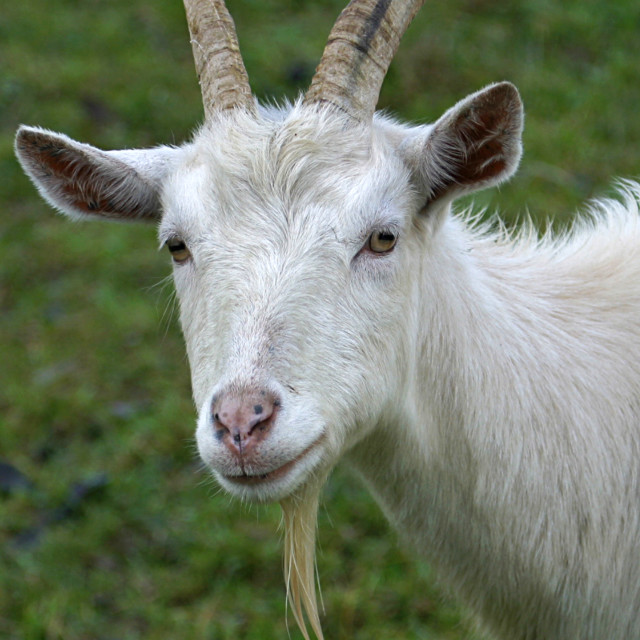 """White Goat Closeup"" stock image"