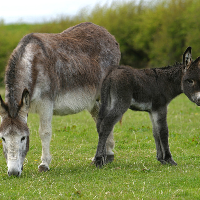 """Mother and Baby Donkey"" stock image"