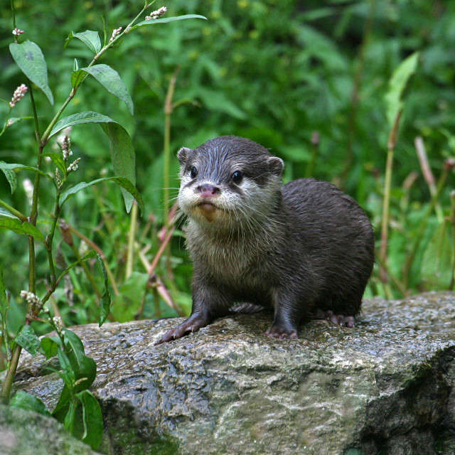 """Baby Asian Short Clawed Otter"" stock image"