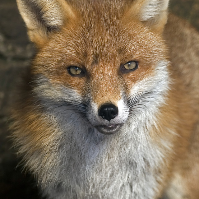 """Urban Fox Closeup"" stock image"