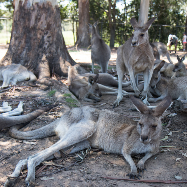"""Kangaroos at Brisbane Koala Sanctuary"" stock image"