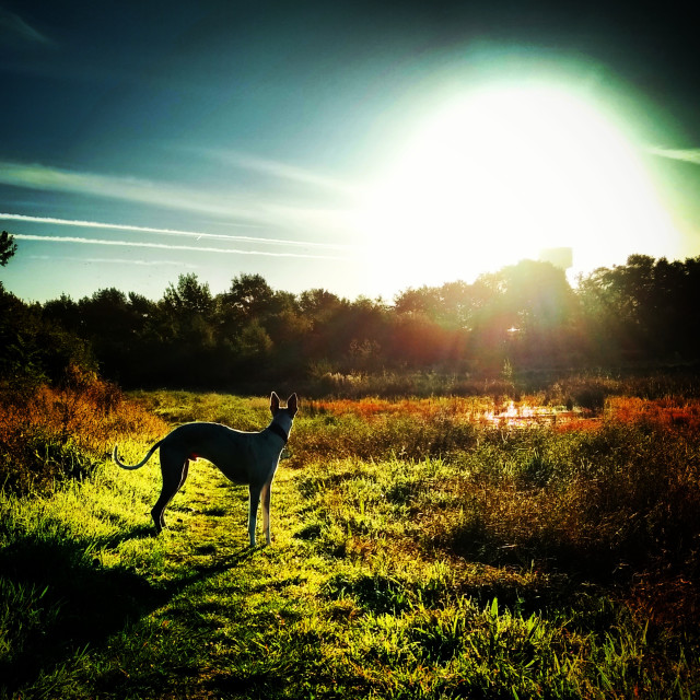 """Whippet in Autumn Sunrise"" stock image"