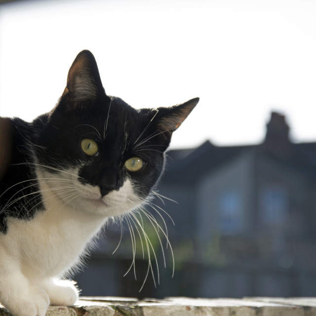 """Black and white cat on a garden wall."" stock image"