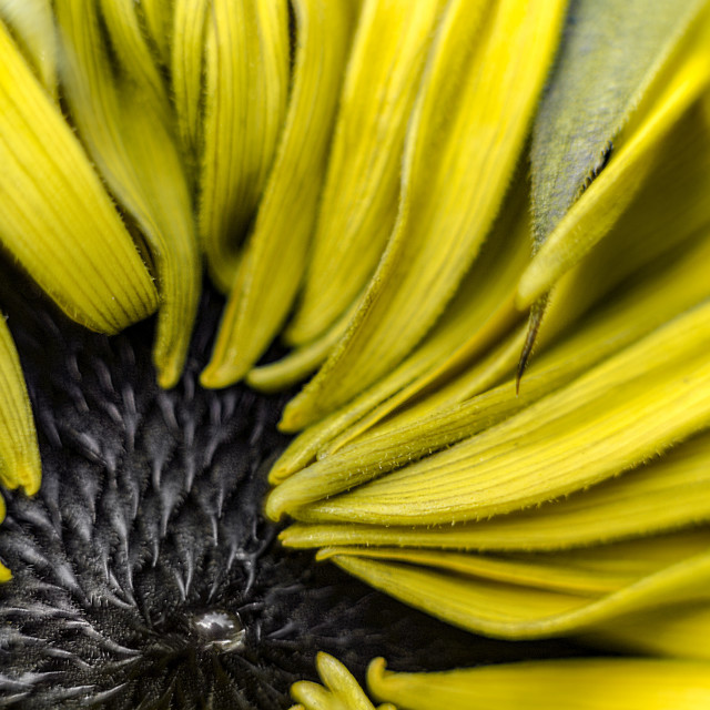 """Sunflower Close-Up"" stock image"
