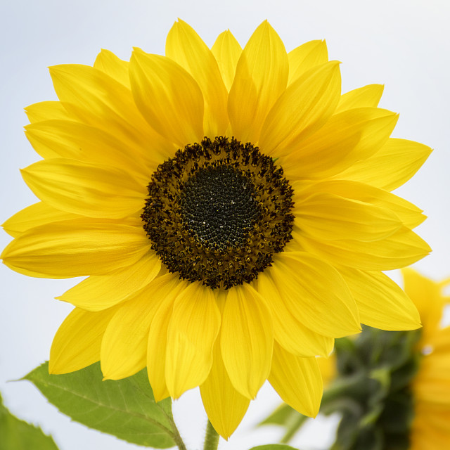 """Sunflower in Full Bloom"" stock image"