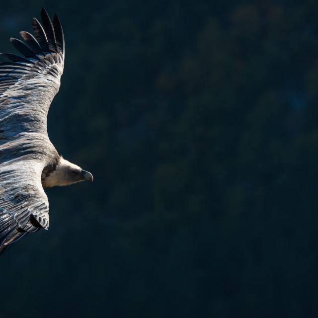 """griffon vulture in flight.Drome Provençale , France"" stock image"