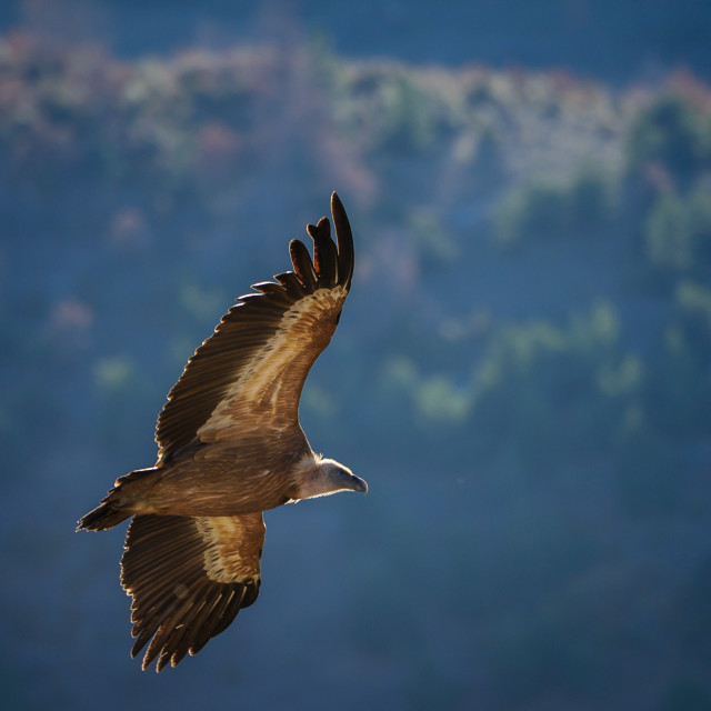 """""""A griffon vulture in flight"""" stock image"""