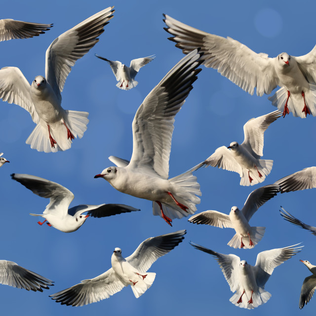 """A montage of Gulls"" stock image"
