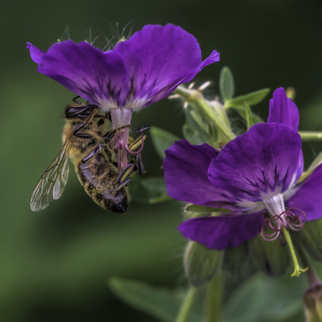 """Wasp on Purple Flower"" stock image"
