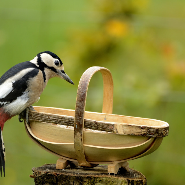 """Woodpecker"" stock image"