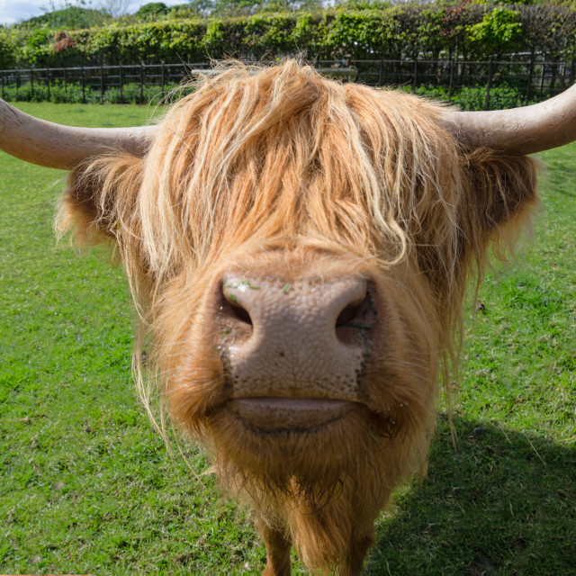 """Highland cow nose"" stock image"