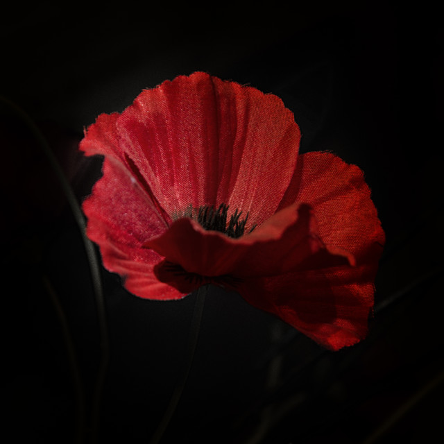 """Remembrance poppy 1"" stock image"