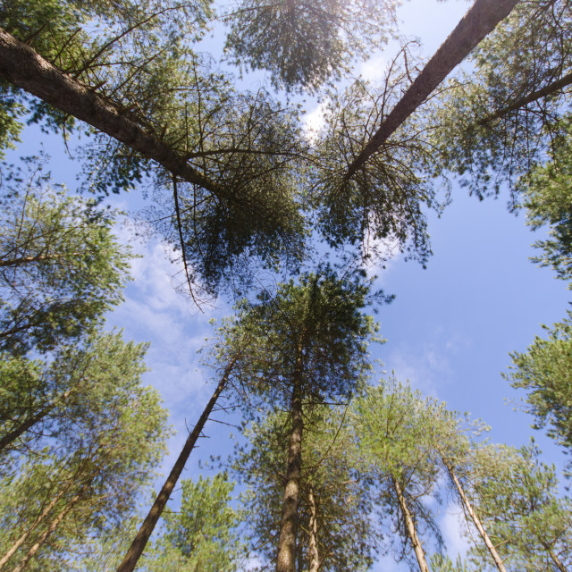 """Corsican Pine Canopy"" stock image"