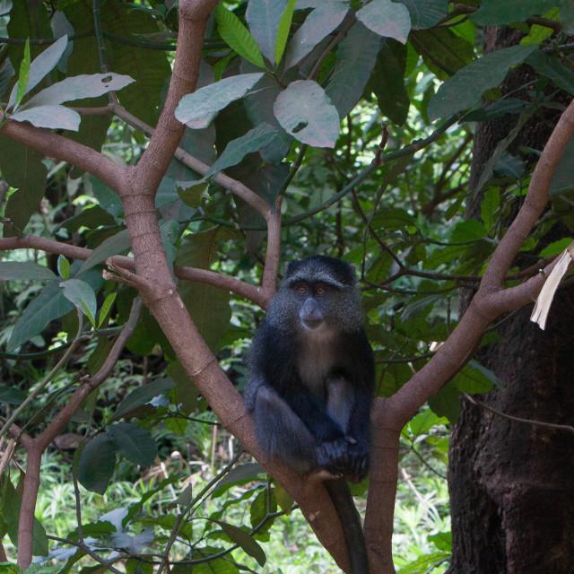 """""""Blue Monkey"""" stock image"""