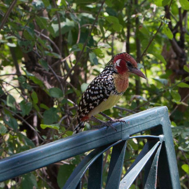 """""""Red and Yellow Barbet"""" stock image"""
