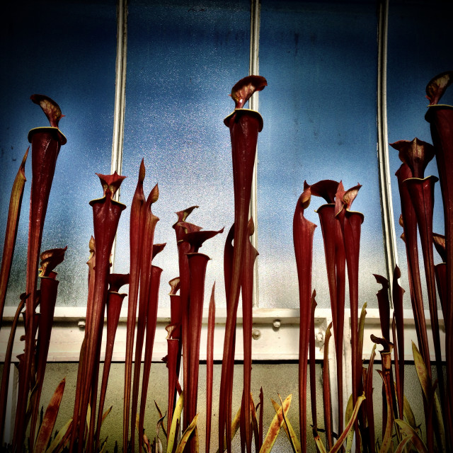 """Pitcher plants in the Kibble Palace"" stock image"