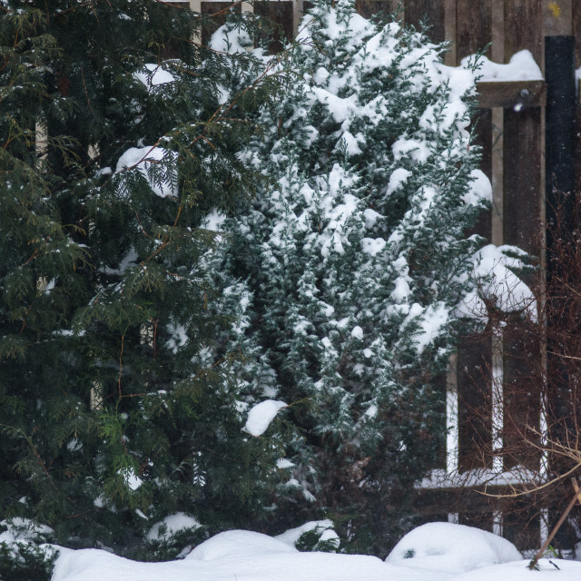 """""""Snow covered juniper tree in garden, during snowfall."""" stock image"""