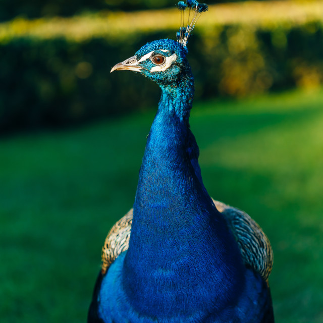 """Indian peafowl or blue peafowl (Pavo cristatus)"" stock image"