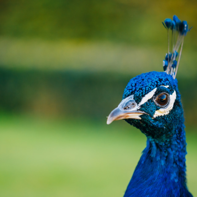 """Close Up Of Indian Peafowl Or Blue Peafowl - Pavo Cristatus"" stock image"