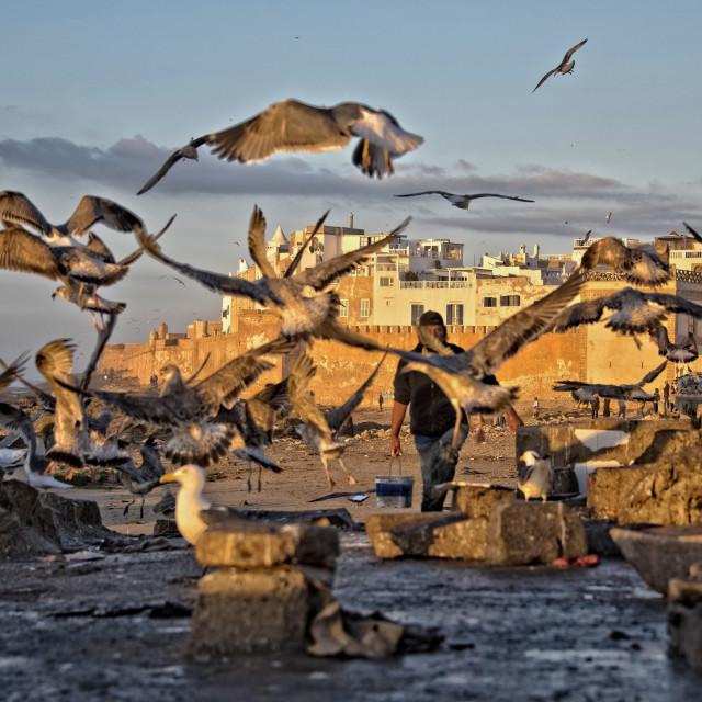 """Seagull feeding frenzy - Essaouira port"" stock image"