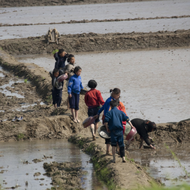 """North Korean children working in a paddy field, Pyongan Province, Pyongyang,..."" stock image"