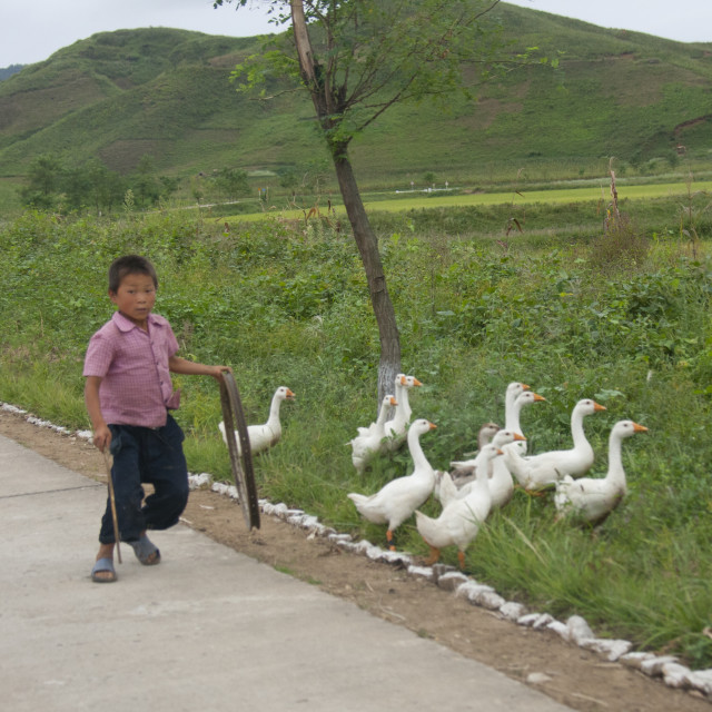 """""""Young North Korean boy walking with geese in the countryside, North Hwanghae..."""" stock image"""