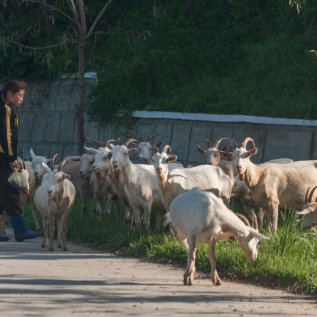 """""""North Korean girl watching a herd of goats grazing, South Pyongan Province,..."""" stock image"""