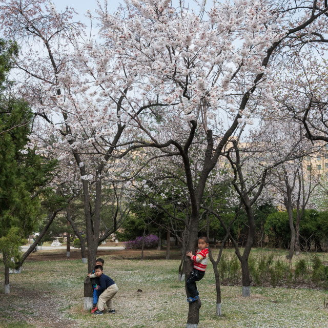 """North Korean children playing in cherry blossoms trees in a park, Pyongan..."" stock image"