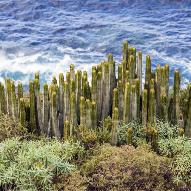 """""""Cacti and Atlantic Ocean"""" stock image"""