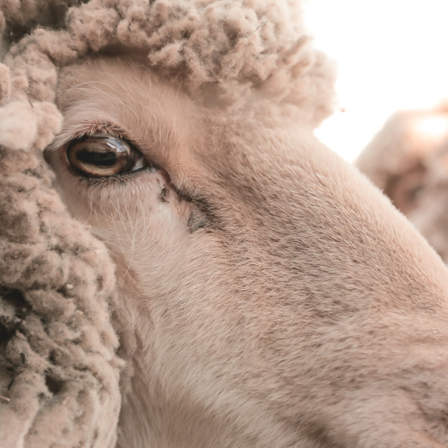 """another portrait of a beautiful sheep"" stock image"