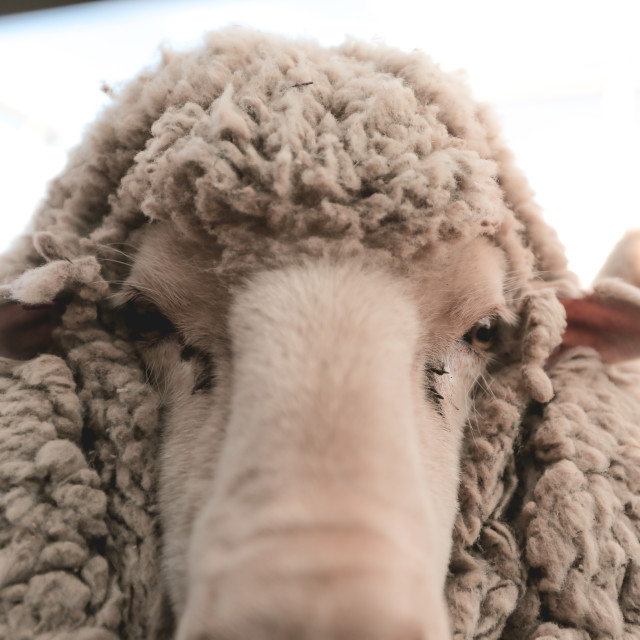 """sheep portrait"" stock image"