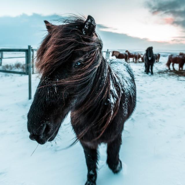 """""""horse portrait iceland"""" stock image"""