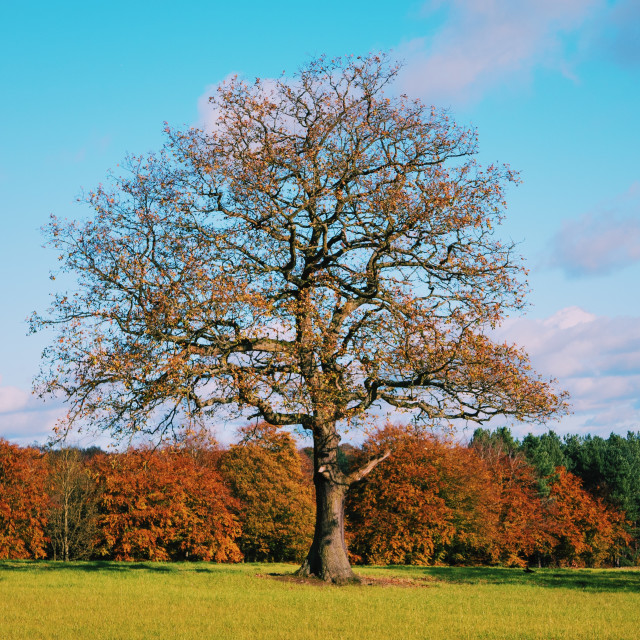 """Autumn tree"" stock image"