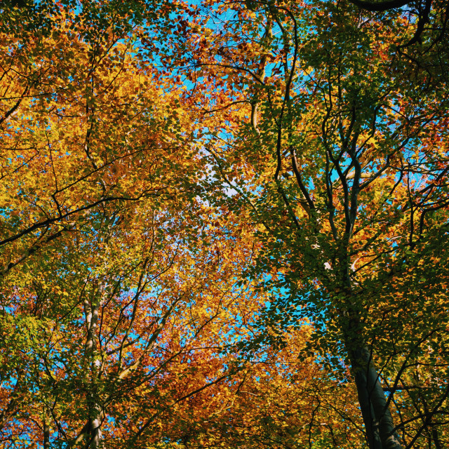 """Autumn canopy"" stock image"