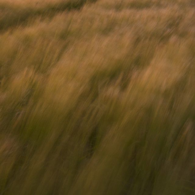 """windy wheat field"" stock image"