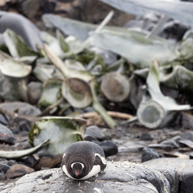 """""""Penguin and whale bones"""" stock image"""